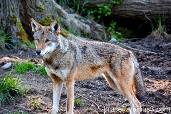 Red Wolf on Alert