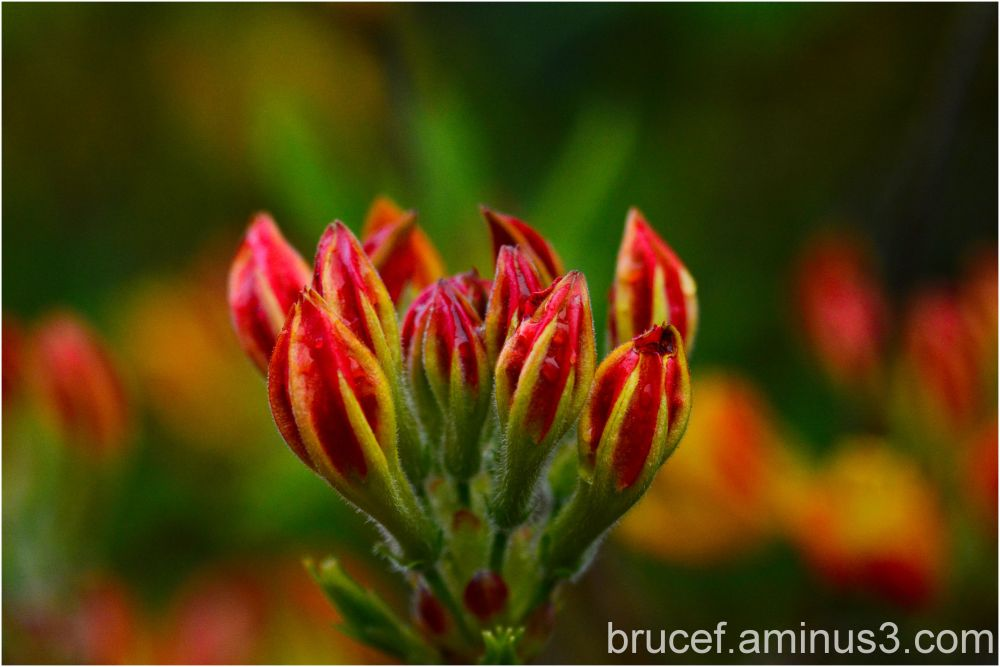 Red Rhododendron Buds