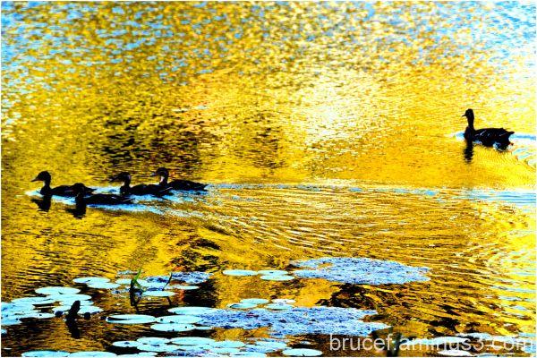 Ducks at Sunset Longview WA