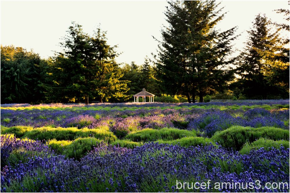 Sequin WA Lavender Fields