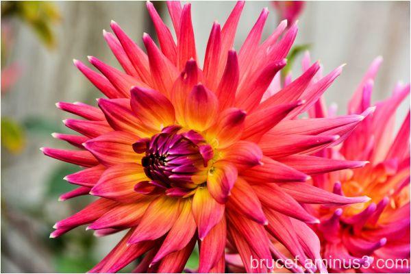 Dahlia - Pinkish