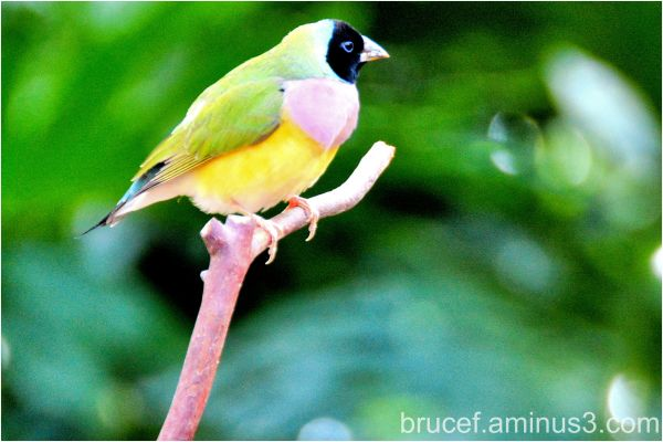 Gouldian Finch Black Headed Version