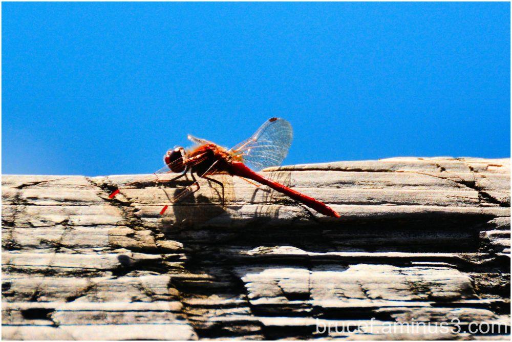 Dragonfly  Clark Lake Park