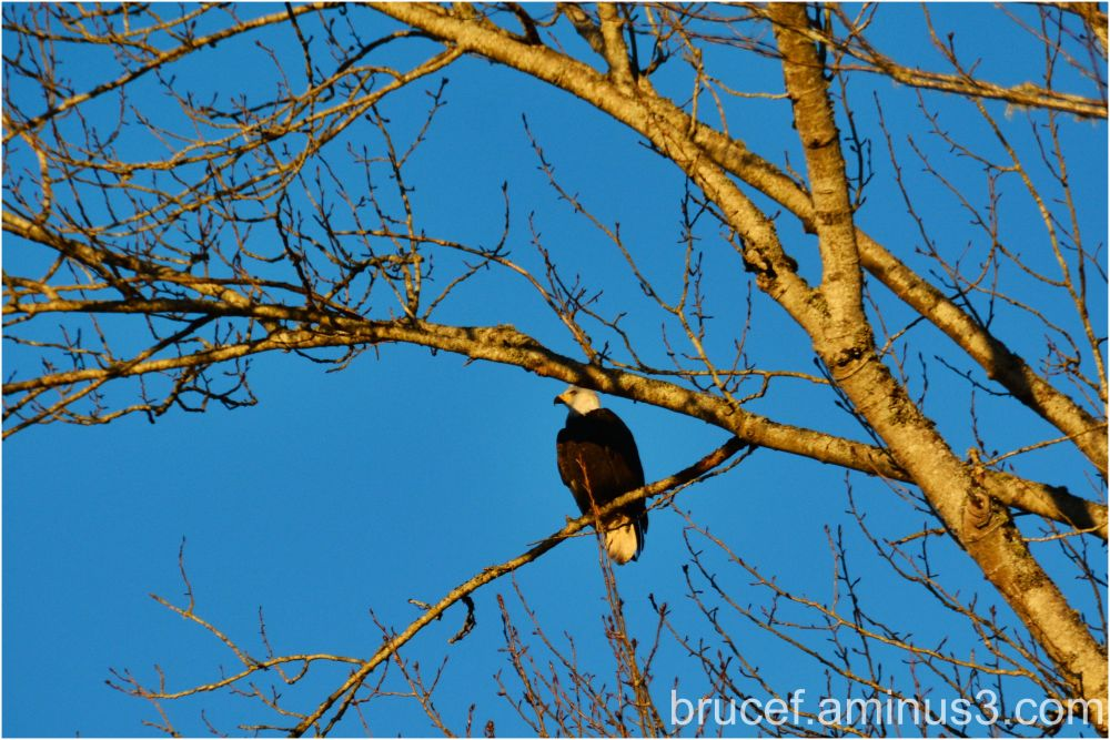 Eagle on Watch