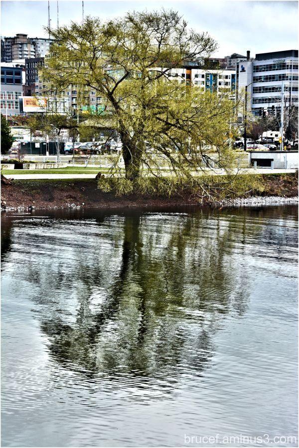 A Tree Grows in Seattle