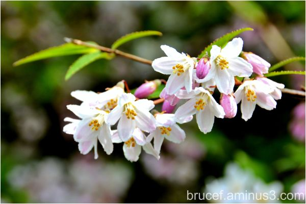 lilac hulda klager gardens