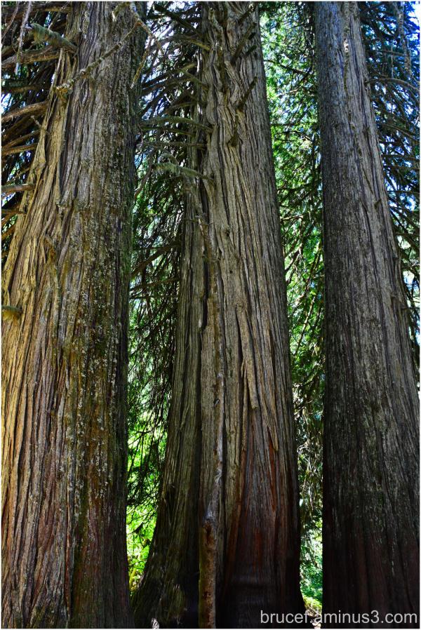 Ancient Western Red Cedar