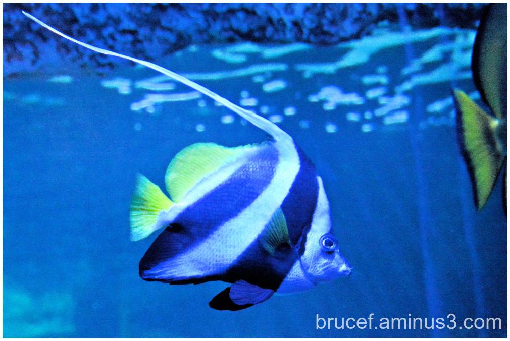 Exotic Moorish Saltwater Angel Fish