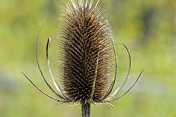 Common Teasel Flower