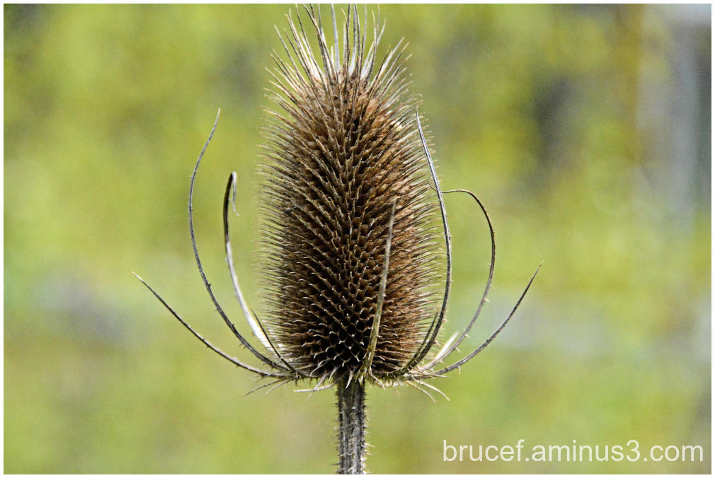 Common Teasel Cone like Flower