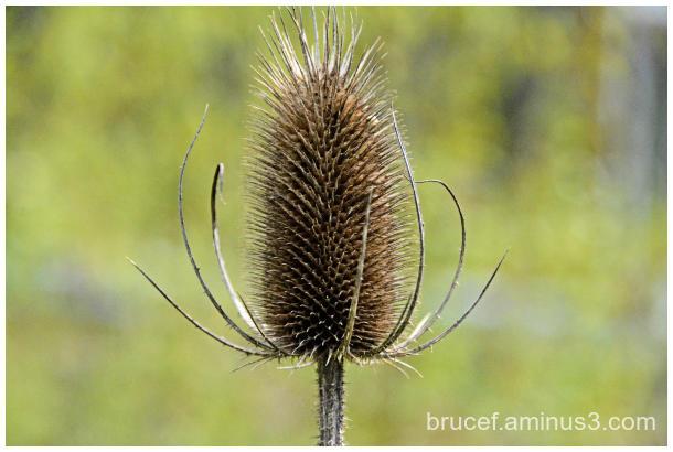 Common Teasel Cone like Flower