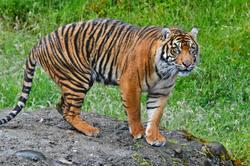Sumatrang Tiger Point Definance Zoo