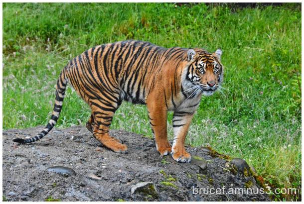 Sumatrang Tiger