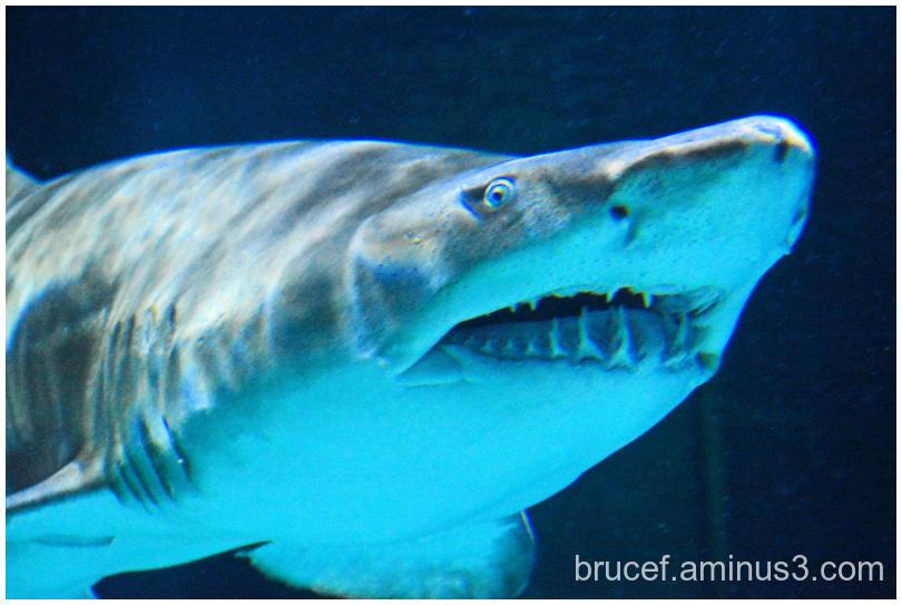 Sand Tiger Shark Point Defiance Aquarium