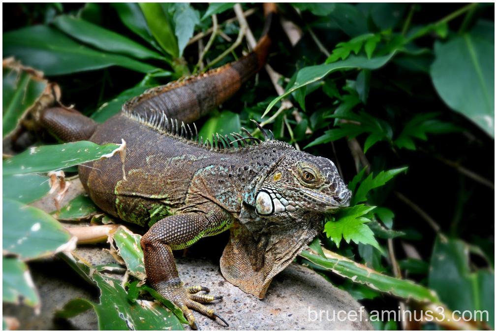 Giant Igana Lizard