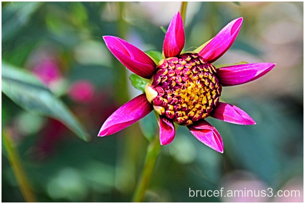Dahlia   Pink Star