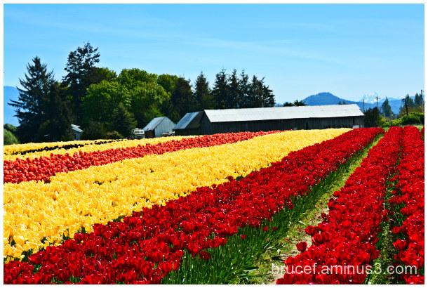 Remember Spring  Tulip Fields
