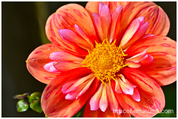 Spring is Coming   Dahlia