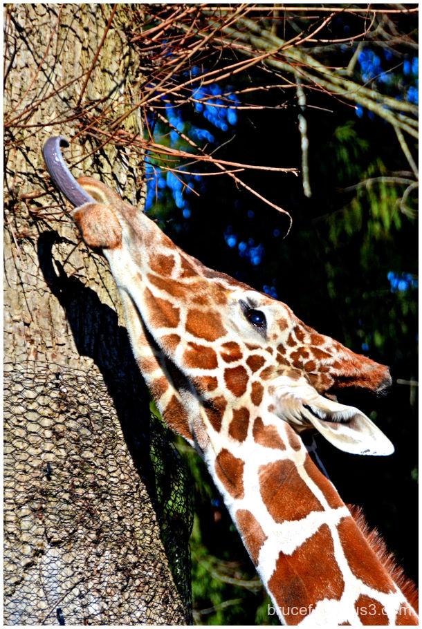 Giraffe Woodfield Zoo