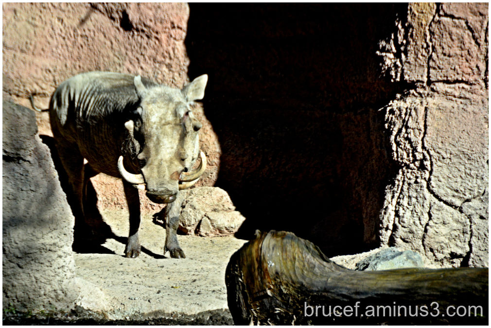 Common Warthog Woodfield Zoo