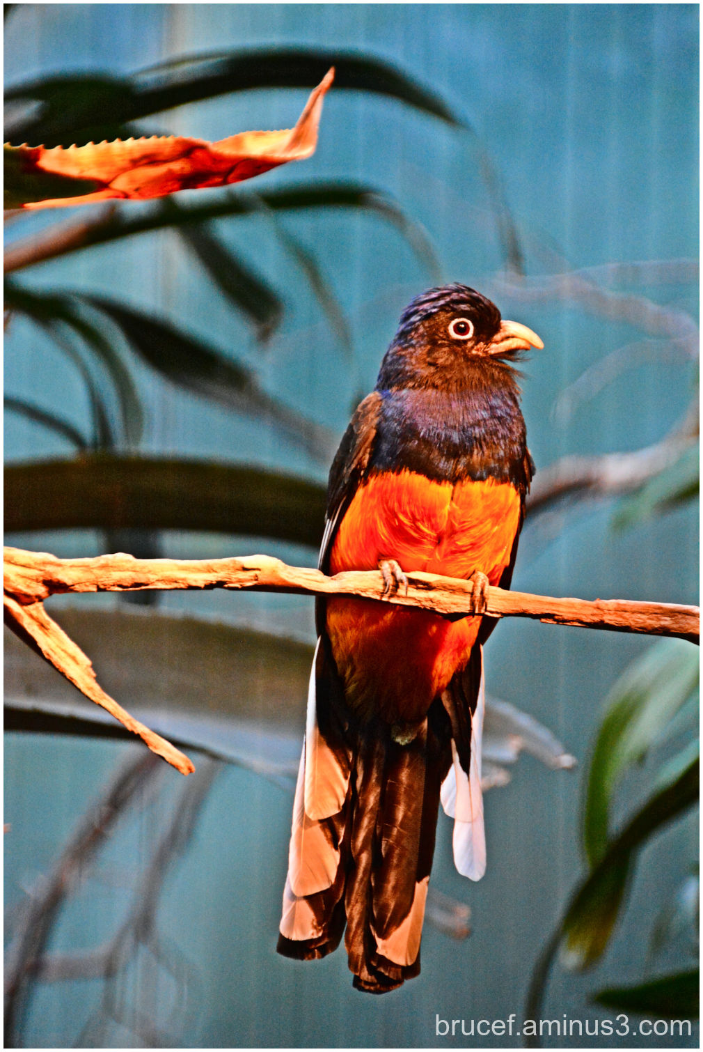 Green-backed Trogon Woodfield Zoo