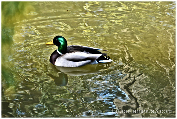 Mallard at the Kubota Gardens