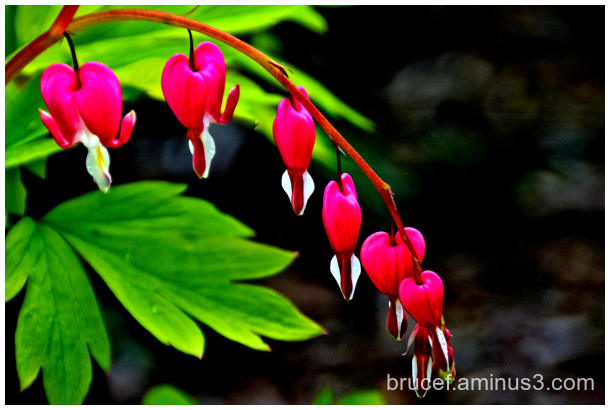 Bleeding Hearts Powell Woods