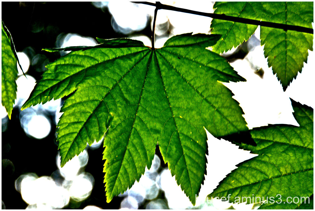 Mt Rainier Leaf