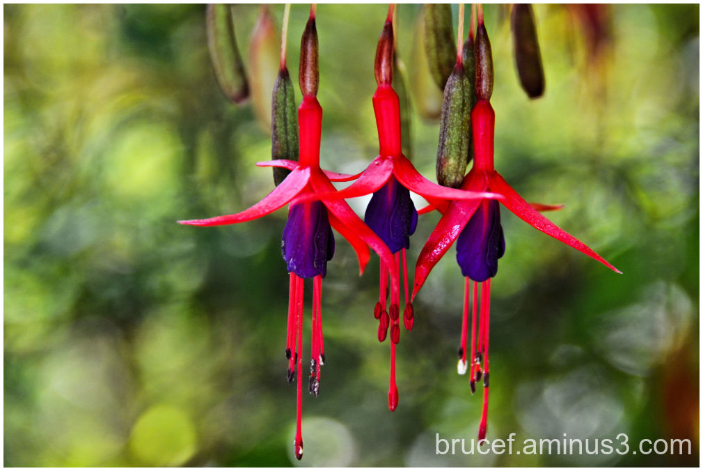 3 Fuchsias just hanging around