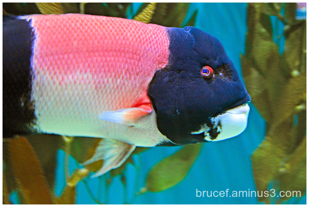 Pink eye fish