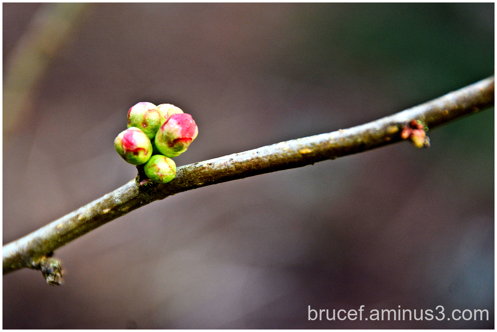 Spring is Coming   -   I know it       Buds