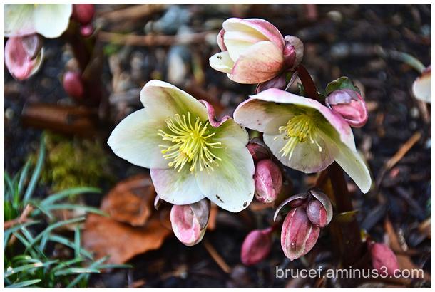 Hellebore, Lenten Rose