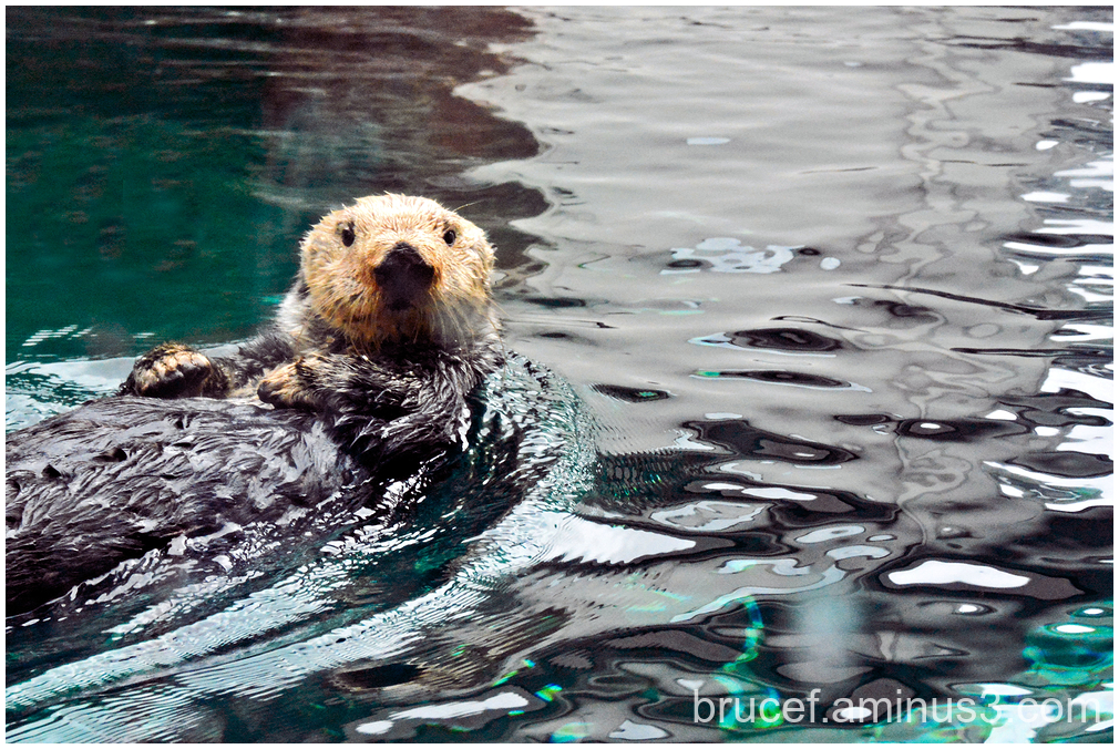 A Sea Otter Just chilling out