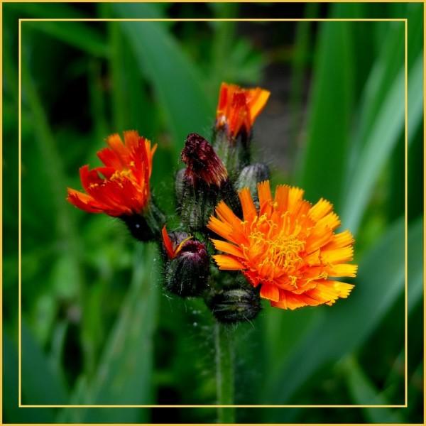 flameweed