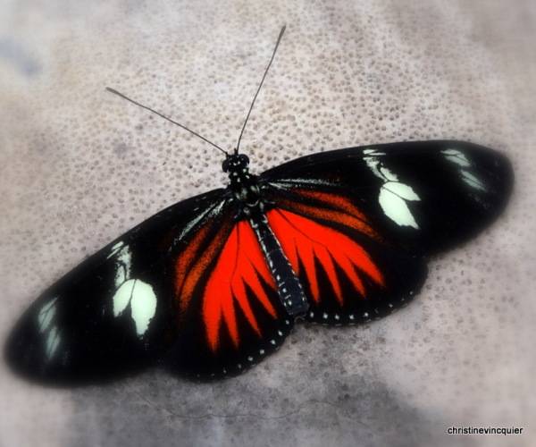RED 5 - Heliconius doris