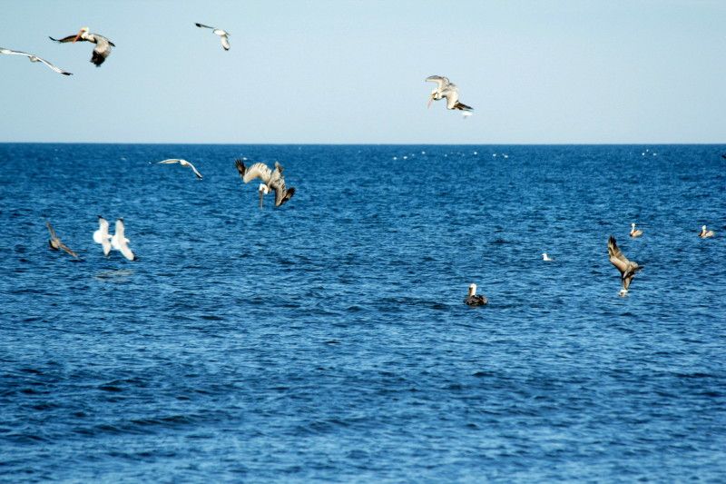 Pelicans fishing at Nags Head beach.