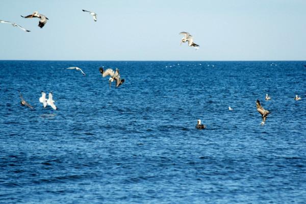 Pelicans fishing at Nags Head beach.