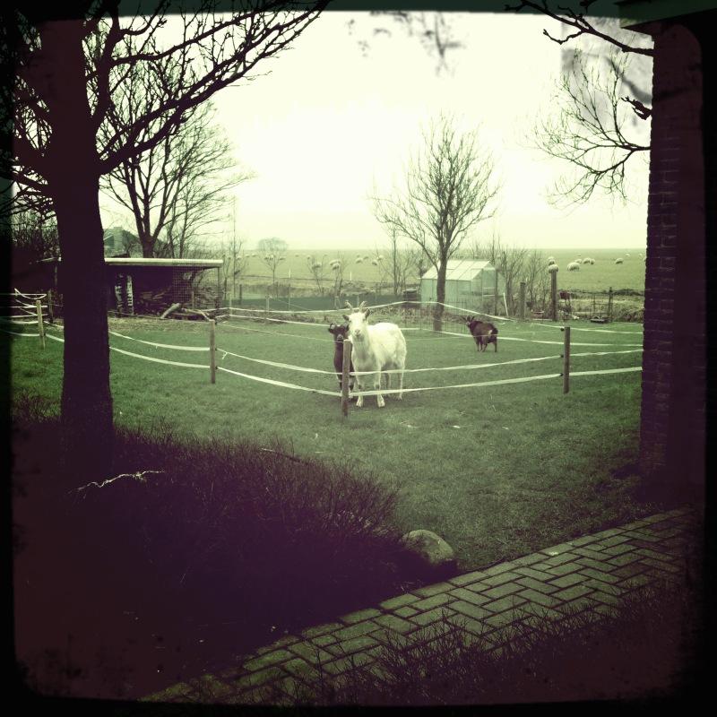 staring at goats