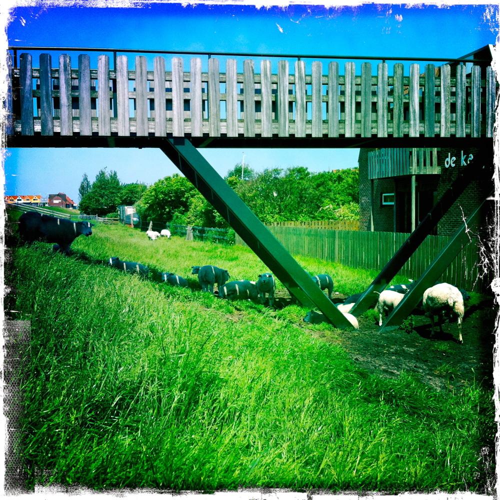sheep dijk