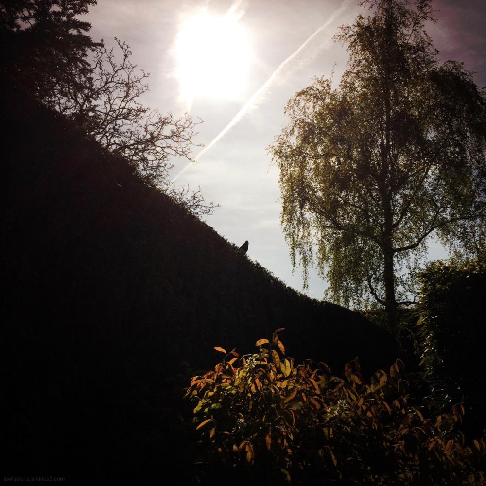 merel blackbird garden tuin