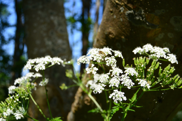 fluitenkruid cow parsley