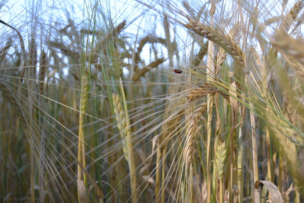 Ladybird lieveheersbeestje krûpelhintsje graan
