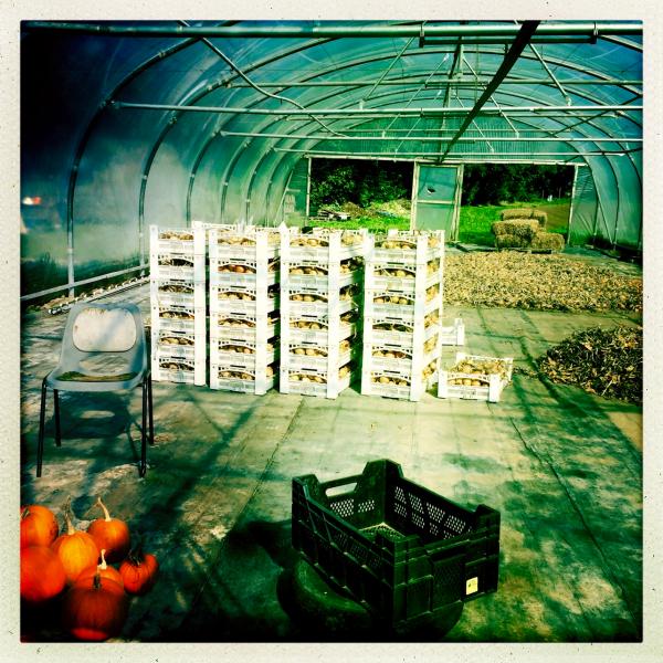 pumpkins onions uien pompoenen biologisch organic
