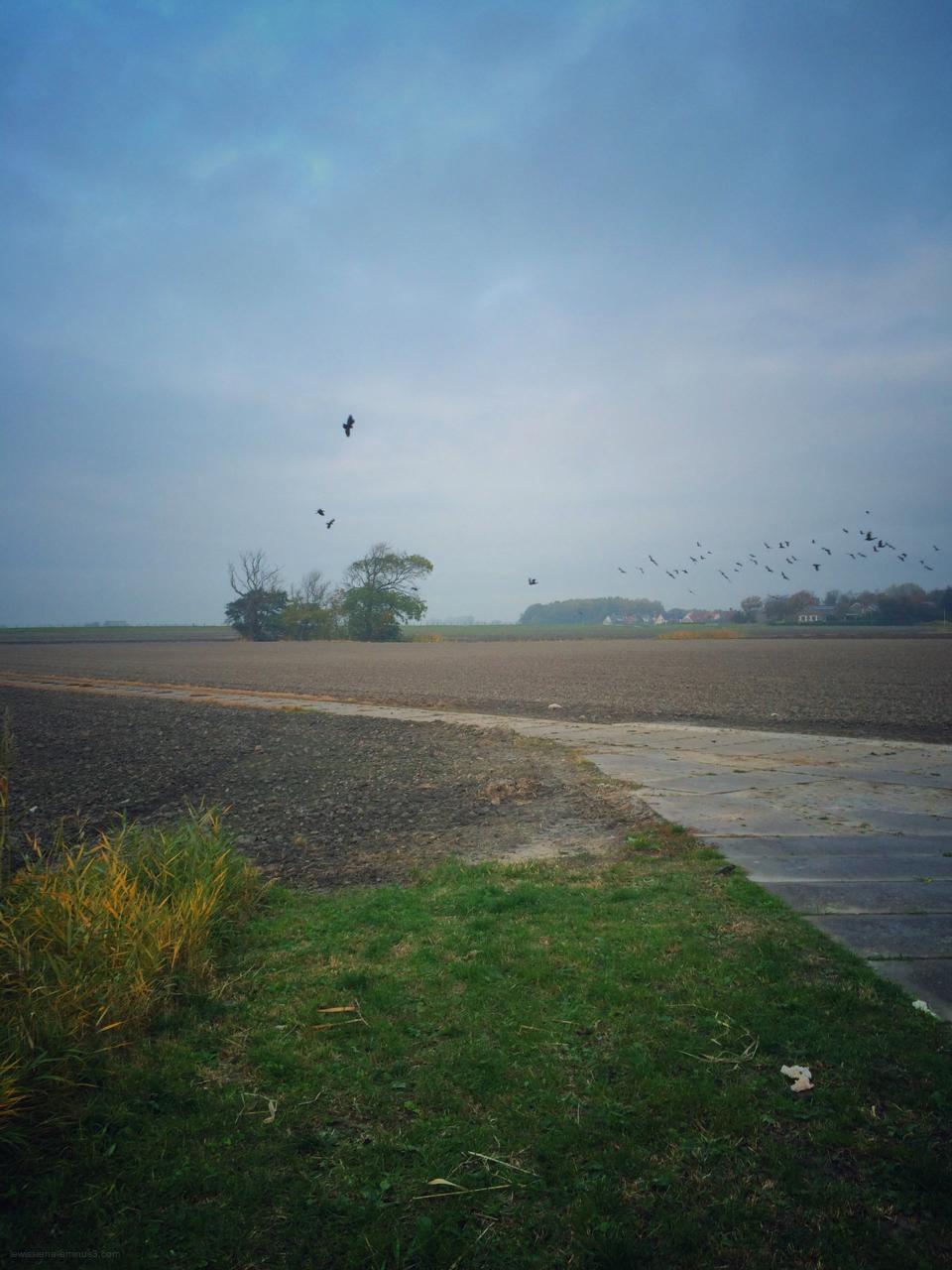 field crows kraaien veld