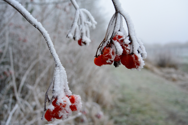 rijp winter tak branch