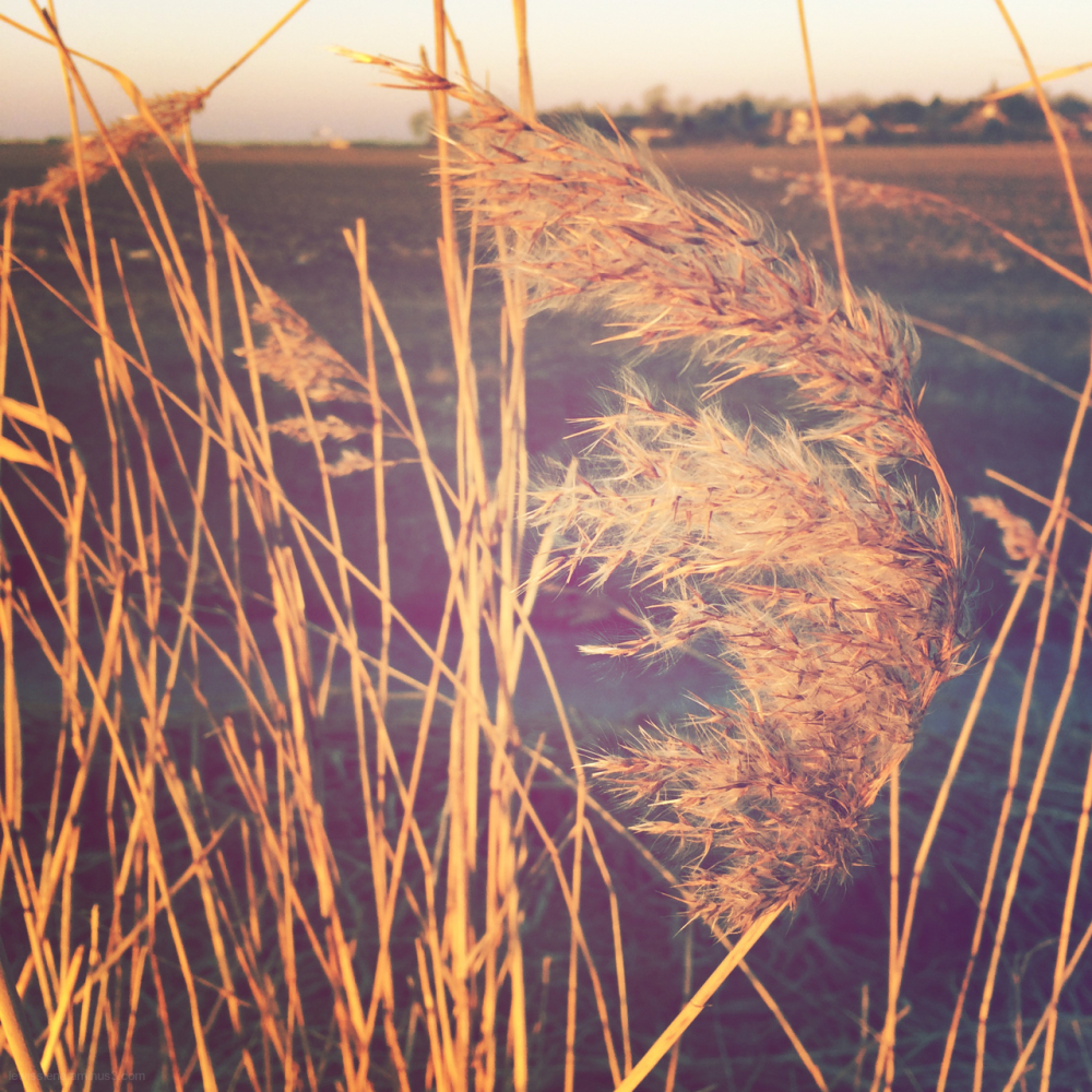 riet pluim plume reed