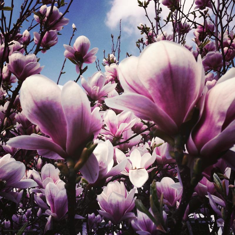 tulpenboom tulip tree