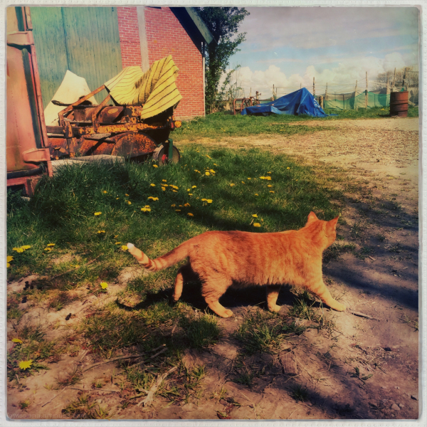 ginger cat rooie kat boerderij farm