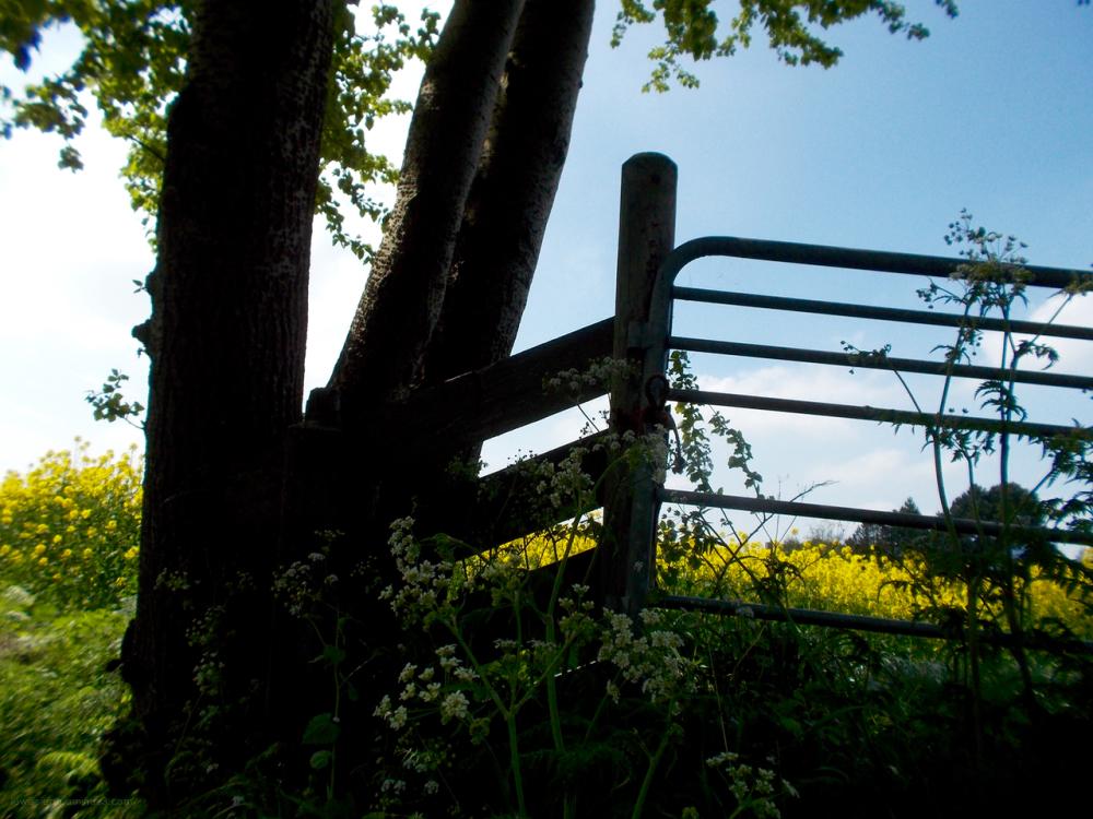 fence fluitenkruid hek koolzaad
