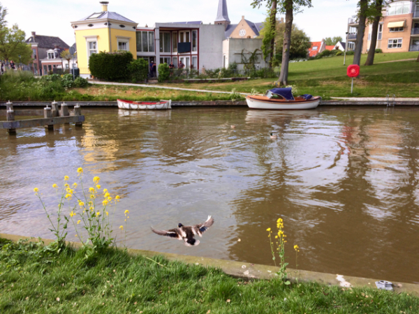 duck eenden